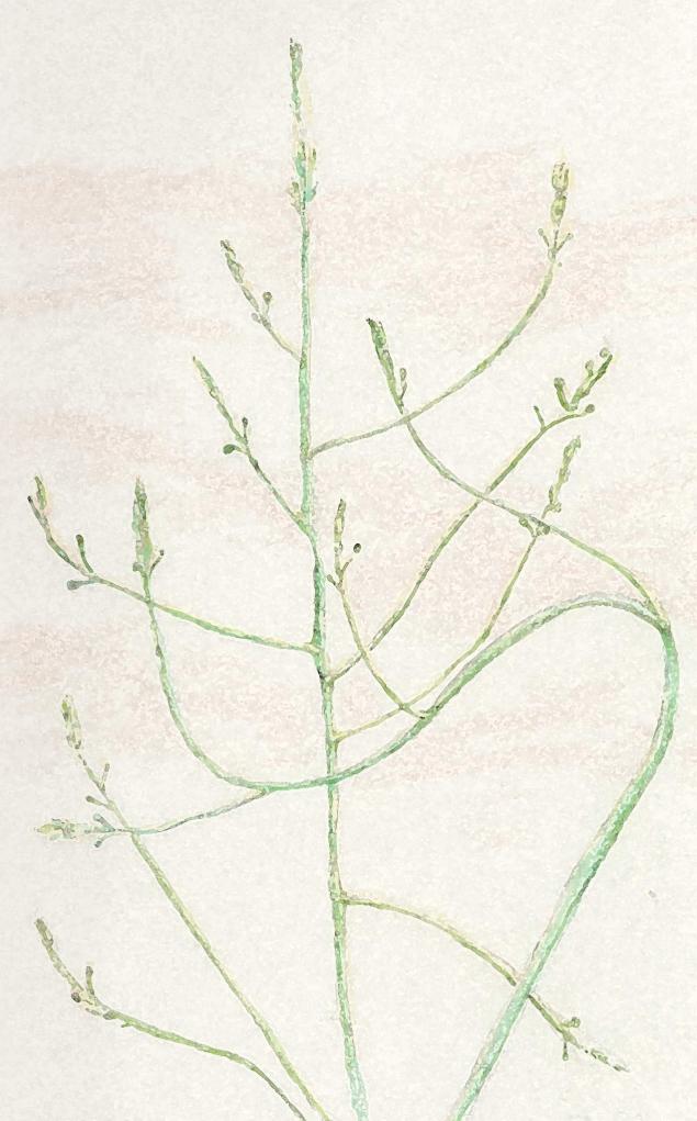 Asparagus May 21