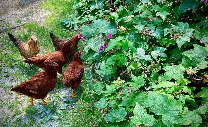 The Chickens and TheEggs